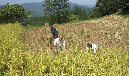 史志办干部给帮扶村农民抢收稻谷