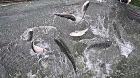 里合村网箱养鱼场