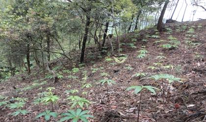 柳丰独角莲种植基地
