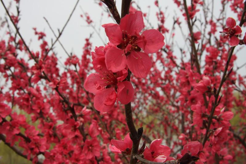 生态园桃花