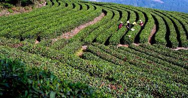 深河千亩生态有机茶基地