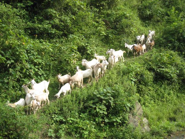 深河乡马头羊