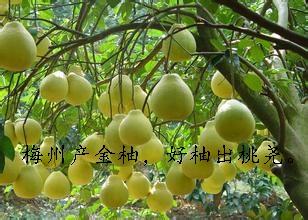 梅州产金柚好柚出桃尧