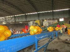 即将运输到外地市场的桃尧金柚