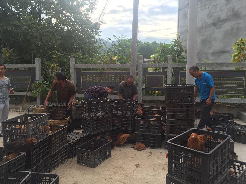 农牧局精准帮扶两河口村之养鸡促增收