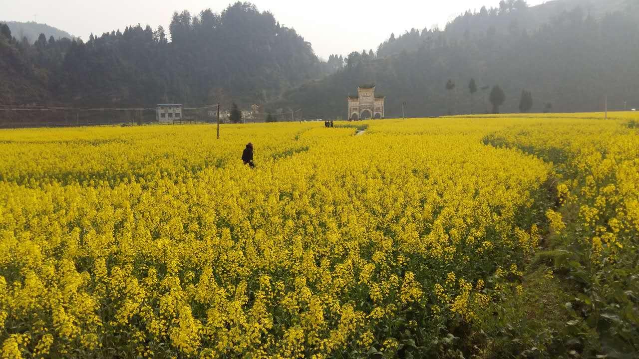 凤冈县新建镇的油菜花开得艳