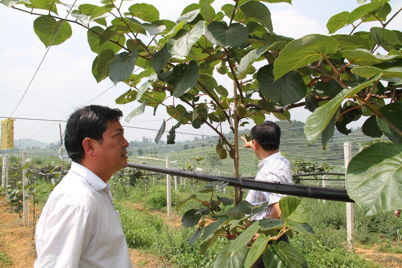 7月8日县政协主席葛传彦政协秘书长曾文凯等到理化视察蜜猴桃基地