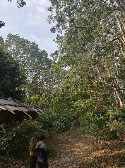 遮放农场在防治橡胶树白粉病的同时加入多菌灵或百菌清兼防橡胶树炭疽